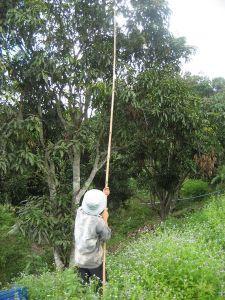 1247274-Mango-picking-0