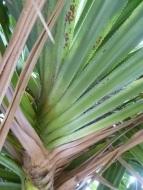 lauhala hala tree-003