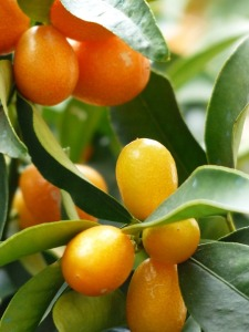kumquats-357895_960_720
