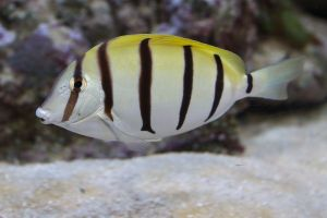 1200px-Convict_Surgeonfish,_Acanthurus_triostegus