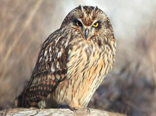 Manoa-pueoprogram-owl.jpg